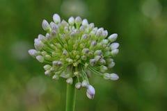 Ajo floreciente en hábitat natural Foto de archivo