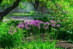Ajo holandés del ` púrpura de la sensación del ` del hollandicum del allium o cebolla persa en un macizo de flores Allium floreci Imagenes de archivo