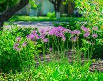 Ajo holandés del ` púrpura de la sensación del ` del hollandicum del allium o cebolla persa en un macizo de flores Allium floreci Imagen de archivo libre de regalías