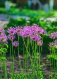 Ajo holandés del ` púrpura de la sensación del ` del hollandicum del allium o cebolla persa en un macizo de flores Allium floreci Fotos de archivo libres de regalías