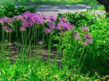 Ajo holandés del ` púrpura de la sensación del ` del hollandicum del allium o cebolla persa en un macizo de flores Allium floreci Imágenes de archivo libres de regalías