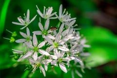 Ajo salvaje, flor del ursinum del allium del ajo del oso con el insecto Fotografía de archivo