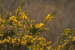 Ajonc en pleine floraison photos libres de droits