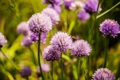 Ajos púrpuras Imagen de archivo libre de regalías