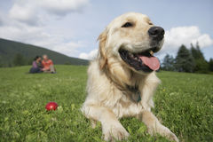 Ajouter au golden retriever sur l'herbe Photos stock