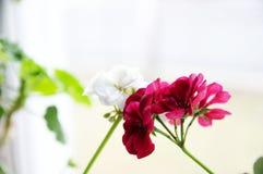 Ajouter blancs et rouges, géranium de lierre espagnol aux fleurs rouges d'écarlate et géranium commun de blanc, géranium Peltatum Image libre de droits