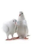 Ajouter de colombe au coeur et aux boucles Images libres de droits