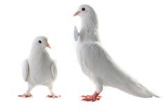 Ajouter de colombe au coeur et aux boucles Photos stock
