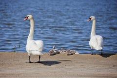 Ajouter de cygne aux oisillons Famille d'oiseaux Images libres de droits