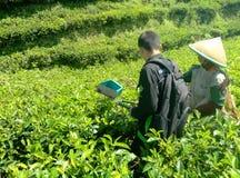 Ajude uma mulher que a colheita deixa de plantas de chá na vila de Kaligua em Java central imagem de stock
