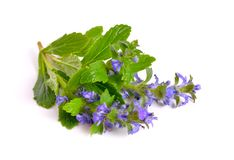 Ajuga also variously known as the upright bugle, blue bugle, Gen. Eva bugleweed, blue bugleweed Stock Photos