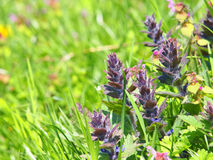 Ajuga genevensis Royalty Free Stock Photography