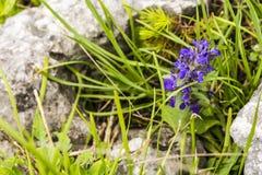 Ajuga genevensis, upright bugle, blue bugle, Geneva bugleweed. Ajuga genevensis (upright bugle, blue bugle, Geneva bugleweed) plant of the family Lamiaceae Stock Image