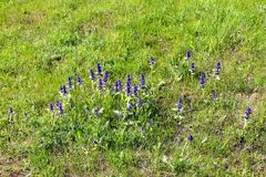 Ajuga on the meadow Royalty Free Stock Photography