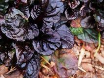 Ajuga reptans Black `Scallop` Royalty Free Stock Images