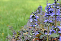 Ajuga reptans. Blue flowers of common bugleweed (Ajuga reptans) on a green background Royalty Free Stock Photo
