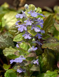 Ajuga reptans Bronze Beauty. Closeup of a single stem of blue Bugleweed flowers against a carpet of bronzed foliage with blurred background in spring Stock Photo