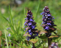 Ajuga reptans (Bugle) Stock Photography