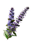 Ajuga Reptans Flowers Royalty Free Stock Images