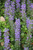 Ajuga reptans. Has dark green leaves with purple highlights. It is a spreading ground cover that grows in a dense mat Stock Images