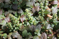 Ajuga reptans. Has dark green leaves with purple highlights. It is a spreading ground cover that grows in a dense mat Royalty Free Stock Images