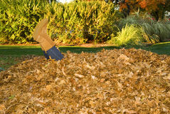 Ajuntando os pés das folhas que colam fora da pilha da folha Foto de Stock