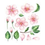Ajuste, coleção de flores de Apple, pétalas e folhas isoladas no fundo branco Imagem de Stock Royalty Free