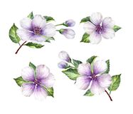 Ajuste, coleção de flores de Apple, pétalas e folhas isoladas no fundo branco Imagens de Stock
