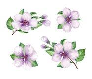 Ajuste, coleção dos ramos das flores de Apple isolados no fundo branco Imagens de Stock Royalty Free