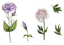 Ajuste com as flores da peônia e do eustoma, as folhas e as hastes isoladas no fundo branco Ilustração botânica ilustração stock