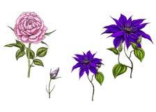 Ajuste com clematite e flores, as folhas, botão e hastes cor-de-rosa no fundo branco Ilustração botânica ilustração stock