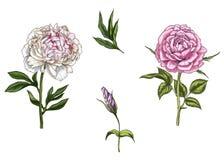 Ajuste com a flor cor-de-rosa e da peônia, as folhas, o botão e as hastes isolados no fundo branco Ilustração botânica ilustração stock