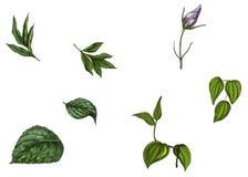 Ajuste com a flor em botão, as folhas e a haste isoladas no fundo branco Ilustração botânica ilustração stock