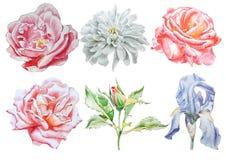 Ajuste com flores Rosa íris chrysanthemum Ilustração da aguarela Fotos de Stock