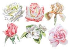 Ajuste com flores Rosa íris Flor Ilustração da aguarela Foto de Stock Royalty Free