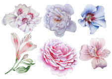 Ajuste com flores Rosa Alstroemeria hibiscus Ilustração da aguarela Imagem de Stock
