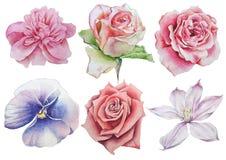 Ajuste com flores Rosa pansies Ilustração da aguarela Fotografia de Stock Royalty Free