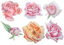 Ajuste com flores Rosa pansies Peônia Ilustração da aguarela Foto de Stock