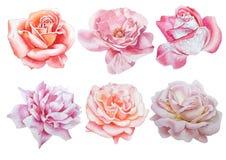 Ajuste com flores Rosa Peônia Ilustração da aguarela Imagens de Stock Royalty Free