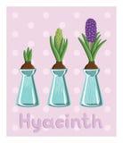Ajuste com os três jacintos em uns vasos: bulbo, botão, flor Foto de Stock Royalty Free