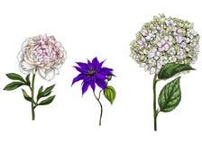 Ajuste com a peônia, as flores da clematite e do flox, as folhas e as hastes isoladas no fundo branco Ilustração botânica ilustração stock