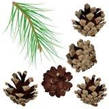 Ajuste com ramo e cones do pinho Fotografia de Stock Royalty Free