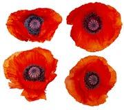 Ajuste da papoila que as flores s?o fotos de stock royalty free
