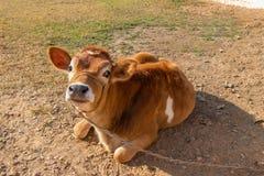 Ajuste da vitela da vaca no campo fotografia de stock