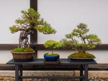 ajuste das árvores japonesas dos bonsais no potenciômetro no jardim do zen O bonsai ? uma forma de arte japonesa usando as ?rvore imagem de stock