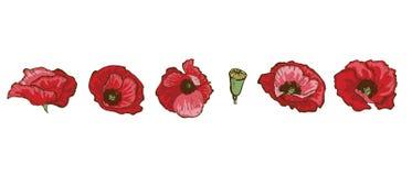Ajuste das flores bonitas da papoila isoladas no fundo branco Vetor desenhado mão Coleção floral da natureza imagem de stock