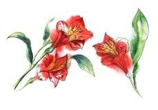 Ajuste de duas flores brilhantes dos Alstroemerias vermelhos dos elementos com centros amarelos do tigre no ramo verde ilustração royalty free