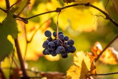 Ajuste de Sun em uvas vermelhas na região de Monferrato, Itália Monferrato é uma região histórico-geográfica de Piedmont Seu terr fotos de stock royalty free