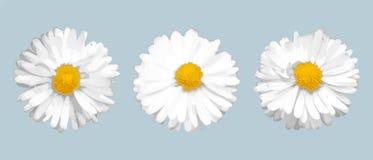 Ajuste de três margaridas realísticas diferentes Elementos do vetor para o projeto ilustração do vetor