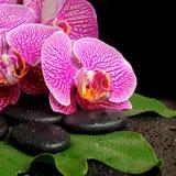 Ajuste del balneario de la orquídea violeta floreciente de la ramita (phalaenopsis) Imágenes de archivo libres de regalías